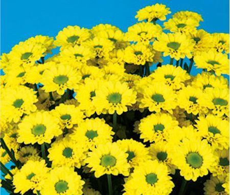 Alma® Yellow