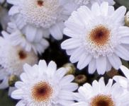 Argyranthemum frutescens chocolate