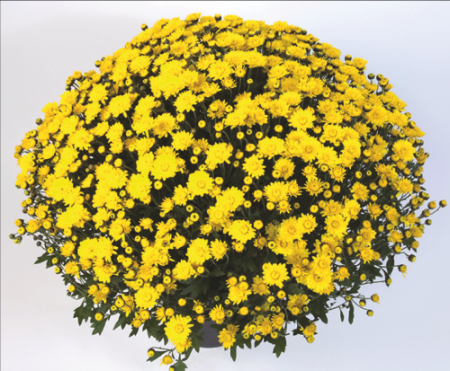 DeVito® Yellow