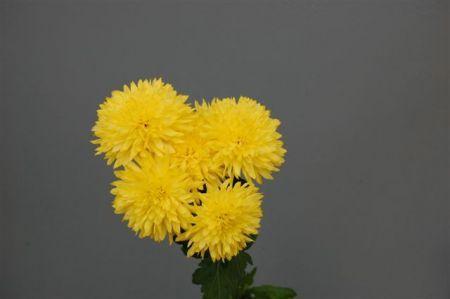 Gompie - žlutá