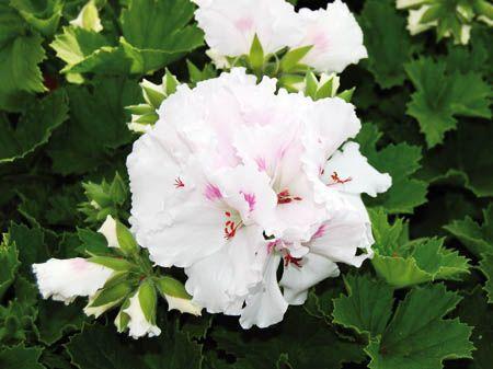 Grandiflora 9987 (Mona Lisa Weiss)