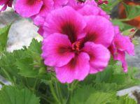 Grandiflora 9989 (Burghy)