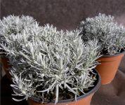 Helichrysum Italicum Maggi
