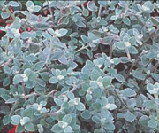 Helichrysum Nana Silver