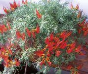 """Lotus maculatus """"Red Flash"""""""