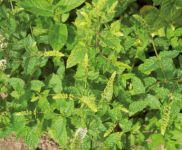 Mentha Spicata Marokko