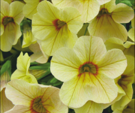 Million Bells® Bouquet Yellow Eye