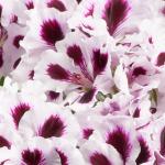 PAC Aristo ® Purple Stripes