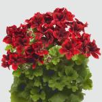 PAC Aristo ® Velvet Red