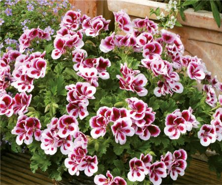 PAC Candy Flowers® Bicolor