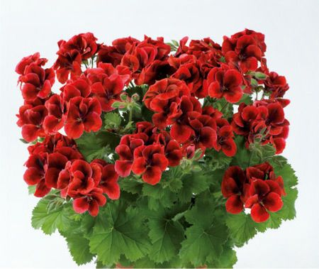 PAC Candy Flowers® Bright Red