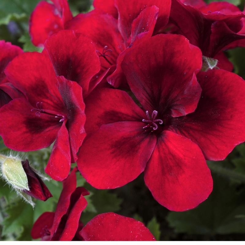 PAC Candy Flowers ® Dark Red - NOVINKA