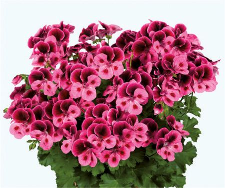 PAC Candy Flowers® Pink With Eye