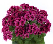 PAC Candy Flowers® Violet