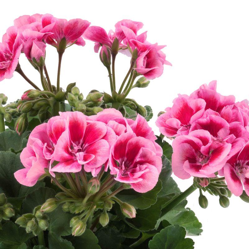 PAC Flower Fairy Pink, Swepin-NOVINKA