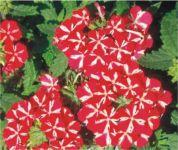 Verbena červeno bílá
