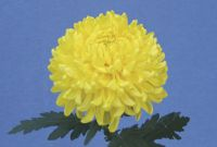 Yellow Snowdon