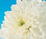 Zembla® White
